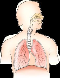 anatomie , lunge , atmung , menschliche , gesundheit , atemwege , atem , nase , bronchien