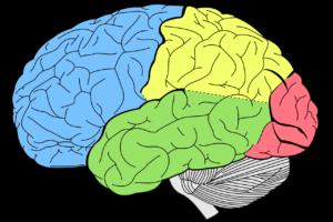 gehirn , lappen , neurologie , menschliche , körper , biologie , menschliches gehirn , anatomie , wissenschaft , medizinische , orgel , zerebrale , speicher , geist , intellekt , psychische gesundheit , gehirn-scan , anatomische