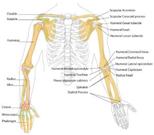 diagramm , menschliche , knochen , skelett , anatomie , gekennzeichnet , bezeichnung , anatomische , brustkorb , rippen , waffen , arm