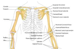 diagramm , menschliche , knochen , skelett , anatomie , gekennzeichnet , bezeichnung , anatomische , brustkorb , rippen , brustbein , arm oberkörper