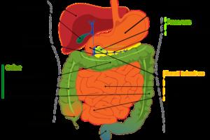 magen darm , system , menschliche , verdauung , gekennzeichnet , diagramm , biologie , anatomie , anatomische , bauch , bauchspeicheldrüse , magen , doppelpunkt , gallenblase , leber , zwölffingerdarm