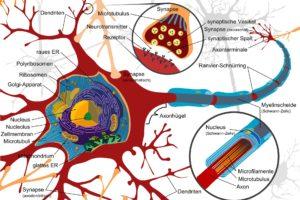 zeichnung , nervenzelle , neurone , elektrisch , zellen , nervensystem , wirbeltiere , gehirn , rückenmark , peripheren , synapse , dendriten , vesikel , ribosomen , zellmenbran , axon, ZNS