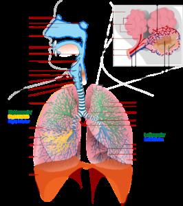 gesundheit , medizin , anatomie , lunge , bezeichnung , atmung, bronchien