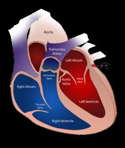 herz , ventil , kreislauf , menschliche , medizinische , blut , anatomie , gesundheit , gesundheitswesen , medizin , orgel , arterie , wissenschaft , biologie , kardiologie , system , ader , ventrikel , herz kreislauf , körper , atrium , krankheit , pflege , aorta , diagramm , verkehr , angriff , muskel , koronare , herzschlag , abschnitt , pulmonale , chirurgie , links , kreuz