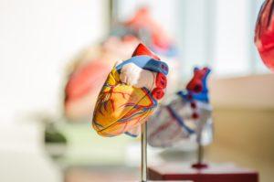 herz , menschliche , anatomie , nerven , muskeln , medizinische , arzt , wissenschaft , schule, herzklappe, herzklappen