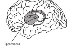 hippocampus , gehirn , anatomie , medizin,
