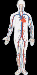 menschlichen körper , kreislauf-system , verkehr , blut , anatomie , körper , herz , arterie , ader , biologie , orgel , kardiologie , gesund , intern , fluss , aorta , gesundheitswesen , herz kreislauf , medizin , koronare , ventrikel , schiffe, venen, arterien, blutgefäße