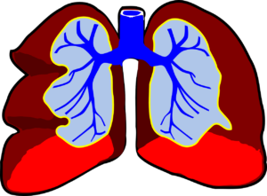 lunge , menschliche , anatomie , bronchien , atemwege , gesundheit , atmung , atem