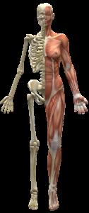 muskeln , skelett , hälfte körper , menschlichen körper