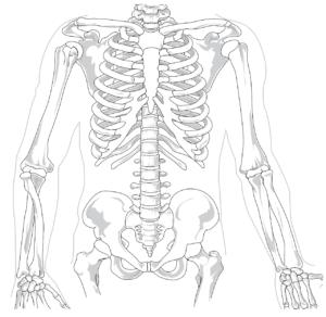 skelett , menschliche , diagramm , rückenschmerzen , wirbelsäule , rippe , brustkorb , anatomie , lendenwirbelsäule , knochen , anatomische , diagnose , x ray brustbein becken arme wirbelsäule