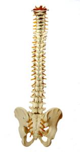 wirbelsäule , rückgrat , wirbelknochen , wirbel , mensch , medizin , anatomie , skelett becken hüfte knochen