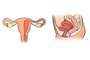 die gebärmutter , gebärmutter-form , die gebärmutter-modell, eierstock, eierstöcke, vagina, frau