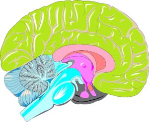 Gehirn, limbisches system, gedächtnis,
