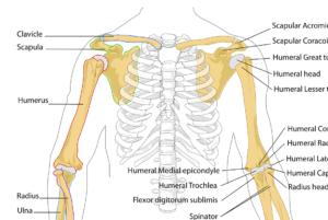 diagramm , menschliche , knochen , skelett , anatomie , gekennzeichnet , bezeichnung , anatomische , brustkorb , rippen , waffen , arm, humerus, oberarm, unterarm, knochen