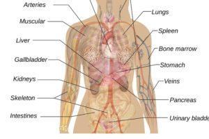 mann , frau , schema , körper , anatomie , lehre , organe , herz , nieren , leber , lunge , magen , kopf , gehirn , biologie , menschen , wissenschaft , mensch , medizin , abbildung , krankenpflege , beschriftung , präsentieren , beschriften, milz