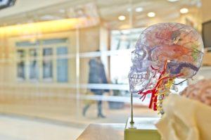 schädel , gehirn , kopf , wissenschaft , medizinische , ausstellung , anzeige , anatomie , neurologie , zerebrale , gesundheit , neurologische , medizin , speicher , venen , halswirbelknochen , menschliche , gesundheitswesen , studie, hypophyse, hypothalamus