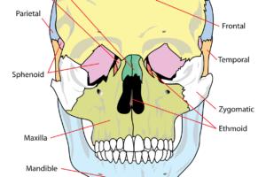 Nasescheidewand schädel , diagramm , gekennzeichnet , menschliche , gesundheit , medizin , anatomische , gehirn , prüfung , x ray , transparent , biologische , bildung , frontal , gesundheitswesen , zeitliche , vereinfacht , skelett , detail , physiologie , parietal , lehre , lernen