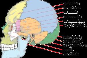 Schädel, Kopf, Nasennebenhöhlen, Knochen, Gebiss, Zähne, Nase, Mund, Augenhöhle