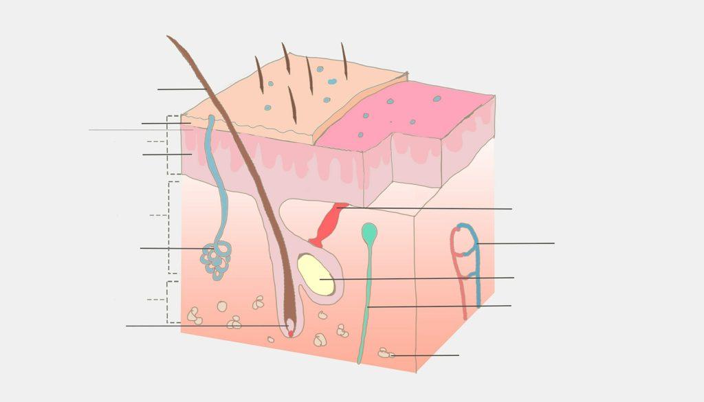 Haut, Dermatologe, Härchen, Talgdrüsen, Zellen, Anatomie