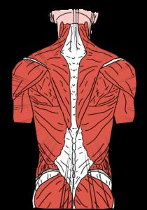 rückenschmerzen , krampf , wirbelsäule , muskeln , rückenmuskulatur , beruf , anatomie , schmerzhafte , körper , massage , therapie , physiotherapie , wellness , gesundheit , zeichnung , royalty free