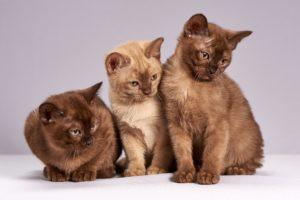 niedlich , katzen , kätzchen , tiere , säugetiere , haustier , die birmanische katzen , drei , suchen , interesse