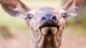 maul , schnauze , nasenlöcher , mund , nase , reh , riechen , blick , neugierig , rotwild , wild , tierpark , wildpark , wildgehege, pheromone