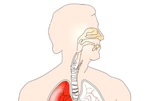 Speiseröhre, Verdauung, Mund, atemwege, Speicheldrüsen, Lunge, brust , bronchien , pulmon , kehlkopf , brustkorb , torso , atmen