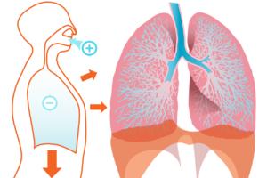 lunge , diagramm , anatomie , körper , menschliche , intern , orgel , organe , anatomische , atmen , einatmen, inspiration, ventilation
