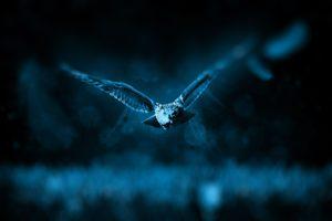 eule , jagen , natur , jäger , raubtier , tierwelt , tier , fleischfresser , wildnis , waldbewohner , jagd , gefährdet , wildtier , mondschein , nacht , blau , fliegen , flug, nachaktiv, tier, vogel