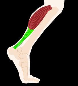 Achillessehne, sehne, muskeln, gelenk, bein, fuß