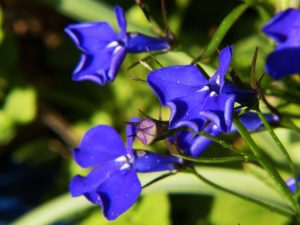männertreu , blaue lobelie , pflanze , blume , blau , makroaufnahme