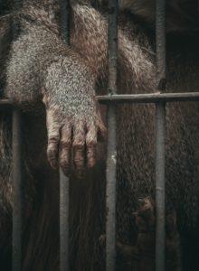 schimpanse , affe , zoo , gefangen , traurig , einsam , käfig , verlassen , kahl , menschenaffe , tier , lebewesen tier , affe , käfig , säugetier , primas , zoo Laboraffe