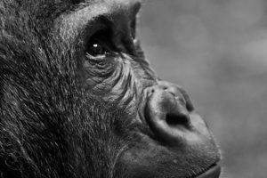gorilla , affe , tier , übersicht , pelzig , porträt , zoo , tierpark hellabrunn , 4k tapete ebola