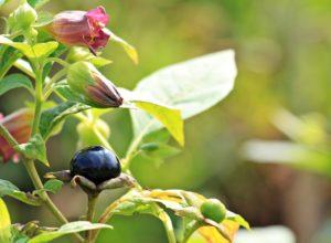 tollkirsche , atropa belladonna , pflanze , blüten , beere , strauch , natur , zweige , kirsche , flora , schwarz , gewächs , nachtschattengewächs , schwarze tollkirsche , knospen , giftig