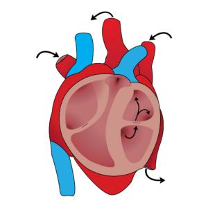 herz kreislauf , herz , blutfluss , anatomie , biologie , herz-kreislauf-system , sauerstoff-reiches blut , cardio , system , grafik , menschliche