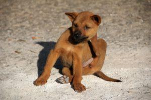 hund , floh , kratzen , jung parasit flohbiss