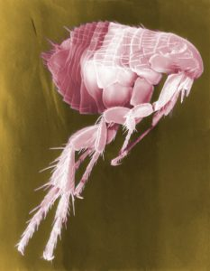 floh , siphonaptera , insekt , parasit , elektronenmikroskopie , elektronenmikroskopaufnahme , vergrößerung , falschfarben