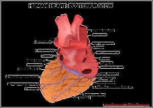 herz , ventrikel , orgel , menschliche , anatomie , medizinische , medizin , diagnose , herzschlag , puls , arterie , venen