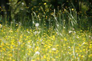 wiese , blumen , frühling , heuschnupfen , pollen , blüte , pusteblume , blühen , allergie , blumenwiese , samen , natur , wildblumen , löwenzahn