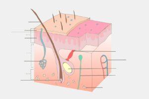anatomie , haut , körper, kollagen, haare, haarfollikel, Kollagenose, Bindegewebserkrankunge, Kollagenopathie