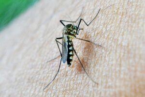 moskito , biss , todesfall , malaria , sri lanka , mawanella ,