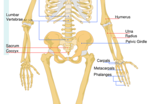 skelett , bezeichnung , arbeitsblatt , system , medizinische , knochen , biologie , anatomie , modell , wissenschaft , diagramm , gesundheit , anatomische, oberschenkel, hüfte, becken, femur
