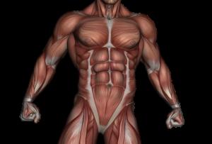 muskel , Rektusdiastase, muskulatur , anatomie , bodybuilding , muskelanatomie , physikalische , medizinische , körper , menschliche , medizin , biologie , system , physiologie , anatomische , biceps femoris , gastrocnemius , gracilis , band , 3d-darstellung , seitlicher streckmuskel , modell , struktur , sehne , gesundheit , männlich , fitnessraum