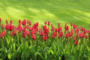 Rot-Grün-Sehschwäche, tulpen , blüte , bunte , blumen , garten , hintergrund , grün , blatt , blätter , rot , zeile , frühling , pulsierenden , rasen , gras