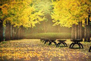 blätter im herbst , herbst , ginkgo , die blätter , natur , golden , stuhl , gil , allee , bank , landschaft , hintergrund , gelb , stimmung , schön