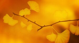 ginkgo , ginkgobaum , ast , zweig , ginkgoblätter , ginkgolaub , pflanze , golden , orange , laubblätter , herbst , goldener herbst , goldener oktober , zart , japan , japanisch , natur