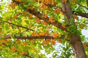 ginkgo-früchte , herbst , gesundheit , natur , pflanzen , holz , landschaft , gelb , baum