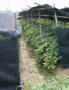 ginseng , landwirtschaft , export , anbau , superfood , tcm , gesund , natur , bauern
