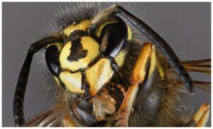 insekt , natur , tier , nahaufnahme , wespe , biene