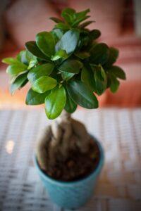 pflanze , blätter , ginseng , bonsai , terrasse , umgebung , natur , green , garten , grundstück , dekor , vase